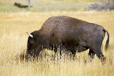 Buffalo, Yellowstone National Park, UNESCO World Heritage Site, Wyoming, United States of America, North America