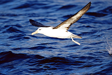 Black-browed albatross flying, Francisco Coloane Marine Reserve, Magallanes, Patagonia, Chile, South America