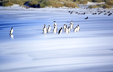 Gentoo penguins (Pygocelis papua papua) on the beach, Sea Lion Island, Falkland Islands, South Atlantic, South America