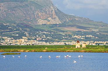 Pink flamingos at salt pans, Trapani, Sicily, Italy, Europe