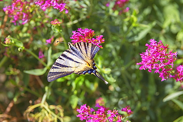 Scarce swallowtail butterfly (Iphiclides podalirius) flying over flowers, Vernazza, Cinque Terre, Liguria, Italy, Europe