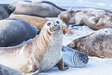 Southern elephant seals (Mirounga leonina) on sandy beach, Sea Lion Island, Falkland Islands, South America