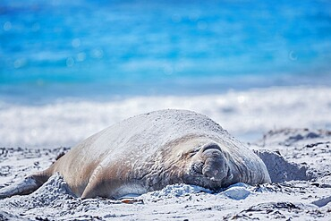 Southern elephant seal (Mirounga leonina) male resting on a sandy beach, Sea Lion Island, Falkland Islands, South America