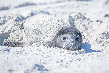 Southern elephant seal (Mirounga leonina) pup hiding in the sand, Sea Lion Island, Falkland Islands, South America