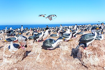 Imperial shags (Leucocarbo atriceps) colony, Sea Lion Island, Falkland Islands, South America