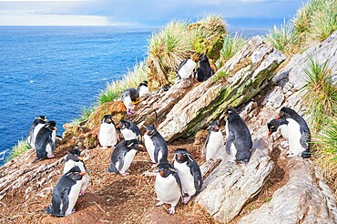 Group of rockhopper penguins (Eudyptes chrysocome chrysocome) on a rocky islet, East Falkland, Falkland Islands, South America