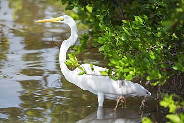 Great white egret (Ardea alba) looking for food, Sanibel Island, J.N. Ding Darling National Wildlife Refuge, Florida, United States of America, North America