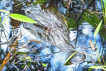 American alligator (Alligator mississipiensis), submerging, J.N. Ding Darling National Wildlife Refuge, Florida, United States of America, North America