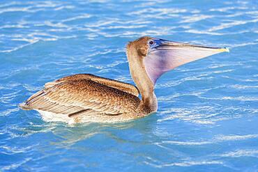 Brown pelican (Pelecanus occidentalis) fishing, Key West, Florida, United States of America, North America