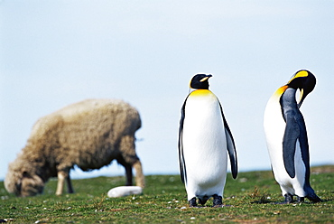 King penguins (Aptenodytes patagonicus) sharing their territory with a sheep, Volunteer Point, East Falkland, Falkland Islands, South Atlantic, South America
