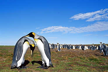 King penguins (Aptenodytes patagonicus) in mating ritual, Volunteer Point, East Falkland, Falkland Islands, South Atlantic, South America