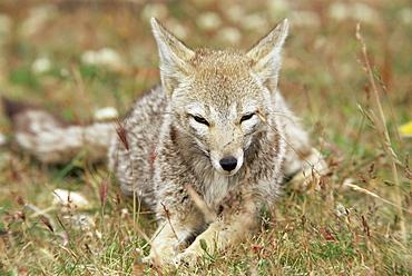 Patagonian grey fox (Dusicyon griseus griseus), Torres del Paine National Park, Patagonia, Chile, South America