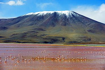 James Flamingo (Phoenicoparrus jamesi), at Laguna Colorado (Red Lake), Eduardo Avaroa Andean National Reserve, Bolivia, South America