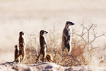 Meerkat (suricate) (Suricata suricatta), Kgalagadi Transfrontier Park, Kalahari, Northern Cape, South Africa, Africa