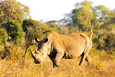 White rhino (Ceratotherium simum), Kruger National Park, South Africa, Africa
