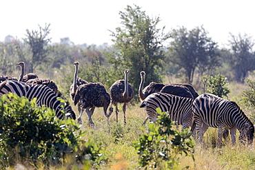 Common ostrich (Struthio camelus) and Burchell's plains zebra (Equus quagga), Kruger National Park, South Africa, Africa