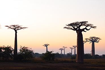 Allee de Baobab (Adansonia), at sunrise, western area, Madagascar, Africa