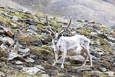Reindeer (Rangifer tarandus), Spitsbergen, Svalbard, Arctic, Norway, Europe