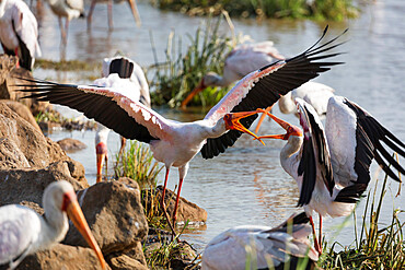 Yellow billed stork (Mycteria ibis) fighting, Lake Manyara National Park, Tanzania, East Africa, Africa