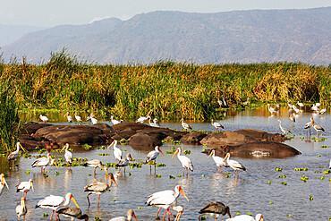 Yellow billed stork (Mycteria ibis) and hippo (Hippopotamus amphibius) at a water hole, Lake Manyara National Park, Tanzania, East Africa, Africa