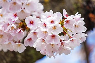 Cherry blossom, Kyoto, Japan, Asia