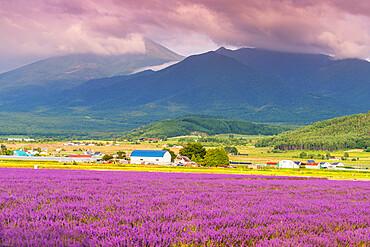 Lavender fields, Furano, Hokkaido, Japan, Asia