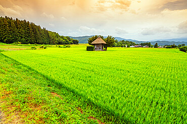 Aragami jinja shrine in a field of canola, Tono City, Iwate prefecture, Tohoku, Honshu, Japan, Asia