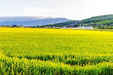 Rice fields, Furano, Hokkaido, Japan, Asia