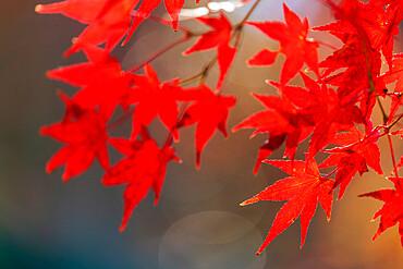 Autumn leaves, Kyoto, Kansai, Japan, Asia