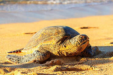 Greenback turtle (Chelonia mydas) on Baldwin Beach, Maui Island, Hawaii, United States of America, North America
