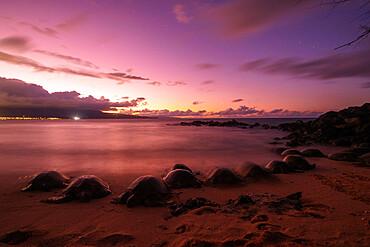 Greenback turtles (Chelonia mydas) on Baldwin Beach, Maui Island, Hawaii, United States of America, North America