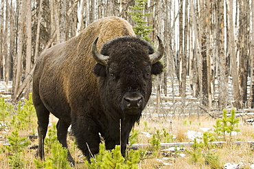Bison, Yellowstone National Park, UNESCO World Heritage Site, Wyoming, United States of America, North America
