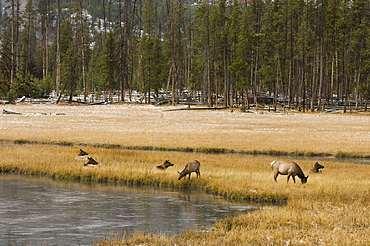 Elk, Firehole River, Yellowstone National Park, UNESCO World Heritage Site, Wyoming, United States of America, North America