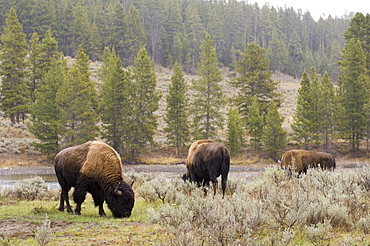 Bisons, Yellowstone National Park, UNESCO World Heritage Site, Wyoming, United States of America, North America