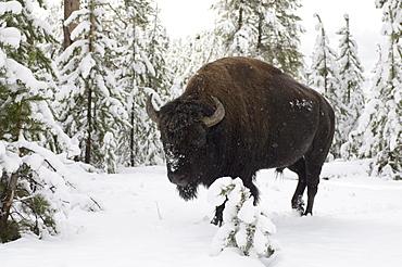 Bison, Yellowstone Lake area, Yellowstone National Park, UNESCO World Heritage Site, Wyoming, United States of America, North America