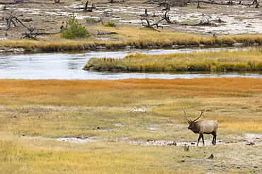 Bull elk near Firehole River, Yellowstone National Park, UNESCO World Heritage Site, Wyoming, United States of America, North America
