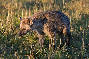 Spotted hyaena cub (Crocuta crocuta), Masai Mara National Reserve, Kenya, East Africa, Africa