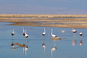 Chilean Flamingo (Phoenicopterus chilensis), Laguna Chaxa, Salar de Atacama, Atacama Desert, Chile, South America