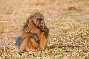 Chacma baboon, Chobe National Park, Botswana, Africa