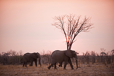 African elephants (Loxodonta africana), Savuti, Chobe National Park, Botswana, Africa