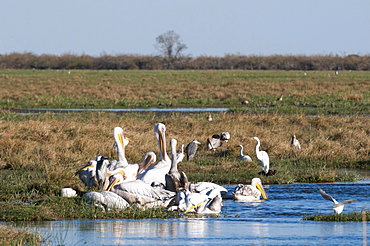 Great white pelican (Pelecanus onocrotalus), Savuti, Chobe National Park, Botswana, Africa