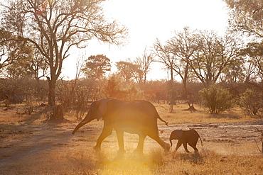 African elephants (Loxodonta africana), Okavango delta, Botswana, Africa