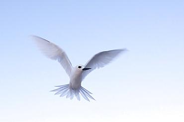 Common white-tern (Gygis alba), Denis Island, Seychelles, Indian Ocean, Africa