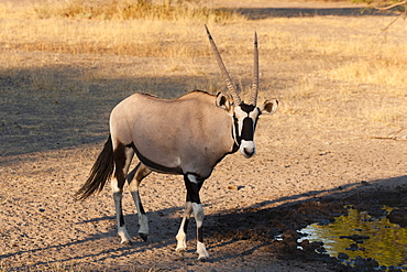 Gemsbok (Oryx gazella), Central Kalahari National Park, Botswana, Africa