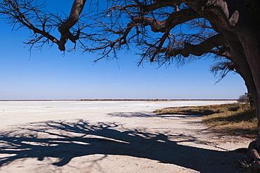 Baines baobabs, Kudiakam Pan, Nxai Pan National Park, Botswana, Africa