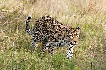 Leopard (Panthera pardus), Khwai Concession Area, Okavango Delta, Botswana, Africa
