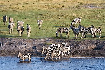 Burchell's zebras (Equus burchelli), Chobe National Park, Botswana, Africa