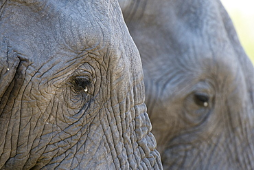 Close-up of two African elephants (Loxodonta africana), Khwai Concession, Okavango Delta, Botswana, Africa