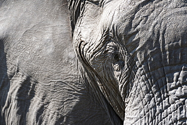 Close-up of an African elephant (Loxodonta africana), Khwai Concession, Okavango Delta, Botswana, Africa