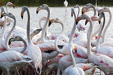 Greater flamingo (Phoenicopterus roseus), Camargue, Provence-Alpes-Cote d'Azur, France, Europe